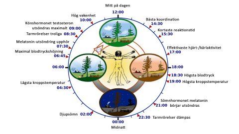 Cirkadisk dygnsrytm styr din biologiska klocka